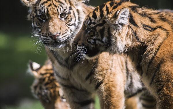 Tigers Sumatran Tiger Cub Triplets - zoo songs for kids